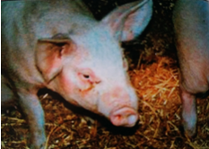 猪萎缩性鼻炎,鼻歪斜1.png