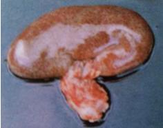 肾脏腹侧小叶出现坏死斑点.png